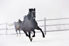 Beautiful horses running in winter. Beautiful blaack horses running in winter Stock Images