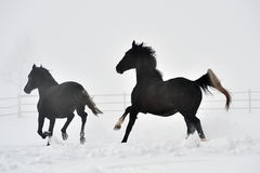 Beautiful horses running in winter Royalty Free Stock Photo
