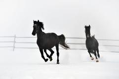Beautiful horses running in winter Stock Photo