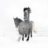 Beautiful horses running in winter. Beautiful black horses running in winter Stock Photo