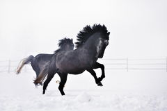 Beautiful horses running in winter Stock Photography