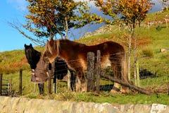 Beautiful horses in Scottish sun Stock Images