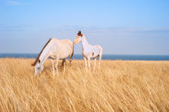 Beautiful horses at seashore Stock Photos