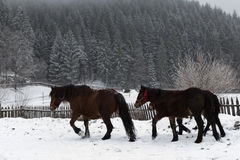 Beautiful horses in the snow Royalty Free Stock Image