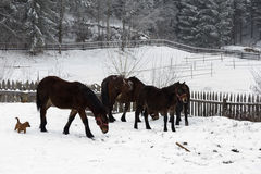 Beautiful horses in the snow Stock Photos