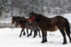 Beautiful horses in the snow Stock Photo