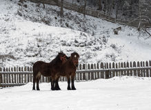 Beautiful horses in the snow Stock Images