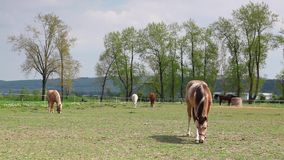 Beautiful horses on the spring pasture Royalty Free Stock Photography
