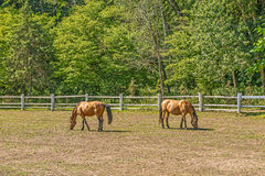 Beautiful horses on a summer playground in the background of a fragment of a stable in Mezhigiri near Kiev. royalty free stock images