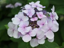 Beautiful hortensia in a garden. Beautiful pink hortensia in a garden Stock Photography