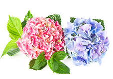 Beautiful hortensia isolated on white Royalty Free Stock Image
