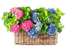 Beautiful hortensia on white Stock Photography