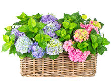 Beautiful hortensia on white. colorful hydrangea Royalty Free Stock Photography