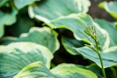 Beautiful Hosta leaves background. Hosta - an ornamental plant for landscaping park and garden design. stock photos