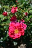 Beautiful hot Pink Flower growing in the garden. With buds next to it royalty free stock photography