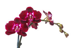 Free Beautiful Hot Red Flowers In Bloom Royalty Free Stock Photos - 42527698