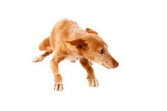 Beautiful hound dog. With brown hair isolated on a white background Royalty Free Stock Photo