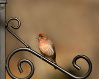 Beautiful House Finch - Fringillidae. Fringillidae is a beautiful red, cream, and tan House Finch. This one is sitting on a wrought iron plant hanger. This image stock photos