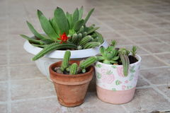 Beautiful houseleeks, empervivum flower and decorative cactus with red flower in a white flowerpots Stock Image