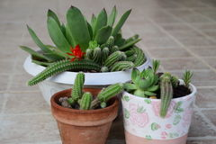 Beautiful houseleeks, empervivum flower and decorative cactus with red flower in a white flowerpots Royalty Free Stock Images