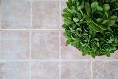 Beautiful houseleeks, empervivum flower in the top right corner, background white tiles Stock Photos