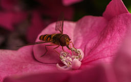 A beautiful Hoverfly feeding on a Pink flower Stock Photography