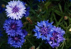 A beautiful Hoverfly hovering over a blue and purple flower Stock Photo