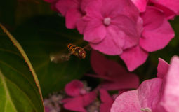 A beautiful Hoverfly hovering over a Pink flower Stock Image