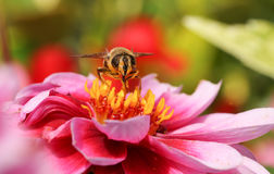 A beautiful Hoverfly Syrphidae nectaring on a Dahlia flower . Royalty Free Stock Image