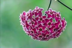 Beautiful hoya flowers. stock image
