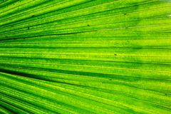 White Elephant Palm Backlit. Beautiful hues of green and yellow shine through this elephant palm.  A terrific texture or background for a project needing copy Stock Image