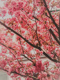 Beautiful huge cherry blossom Stock Images