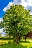 Beautiful and huge chestnut tree blooming in a park with green grass royalty free stock photos