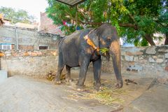 Beautiful an huge elephant with a chain in his feet in Jaipur, India. Elephants are used for rides and other tourist Royalty Free Stock Photo