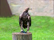 Beautiful huge golden eagle corded to an old wooden stump royalty free stock photo