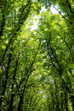 Beautiful huge green trees Royalty Free Stock Images