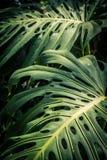 Beautiful green tropical leaves Monstera. Beautiful, huge green tropical leaves Monstera Stock Photo