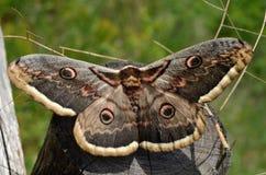 Beautiful huge moth Stock Images