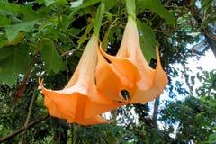 Beautiful huge tropical flower. Brugmansia arborea. Royalty Free Stock Images