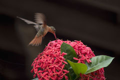 A beautiful humming bird. In a flower in mexico royalty free stock images