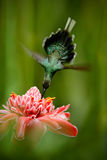 Beautiful hummingbird, acrobatic fly with pink flower. Hummingbird Green Hermit, Phaethornis guy, flying next to beautiful red flo Royalty Free Stock Images