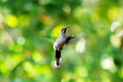 A beautiful hummingbird Royalty Free Stock Photo