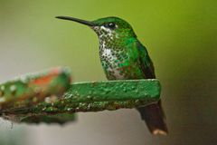 Beautiful Hummingbird as common bird of Central America rainforest. Costarican birds, birdwatching, natural beauty stock image