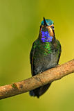 Beautiful hummingbird. Blue and green small bird from mountain cloud forest in Costa Rica. Magnificent Hummingbird, Eugenes fulgen Stock Images