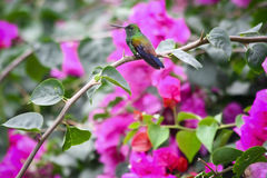 Beautiful hummingbird in the bush with flowers. Beautiful hummingbird sitting in the bush with flowers stock images