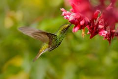 Beautiful hummingbird, Coppery-headed Emerald, Elvira cupreiceps, flying next to nice pink flower, sucking nectar, feeding scene f Royalty Free Stock Photos
