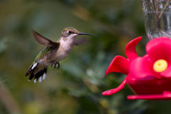 Hummingbird flying to feeder Stock Photos