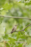 Beautiful hummingbird with green background Royalty Free Stock Images