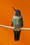 Beautiful hummingbird. Orange and green small bird from mountain cloud forest in Costa Rica. Magnificent Hummingbird, Eugenes fulg Stock Photos