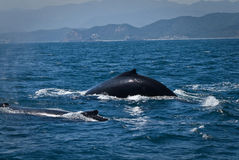 Beautiful humpback whales in the coast of Ecuador Royalty Free Stock Image
